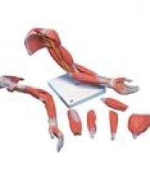 Mô hình giải phẫu cơ xương chi trên gồm 6 phần